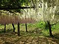 White and pink wisteria in Kawachi Wisteria Garden 20150509-2.JPG