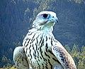 White falcon.jpg