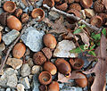 White oak Quercus alba acorns close.jpg