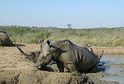 White Rhinos enjoying a wallow in the mud.