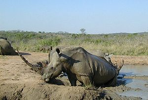 Garamba National Park - White rhinoceros