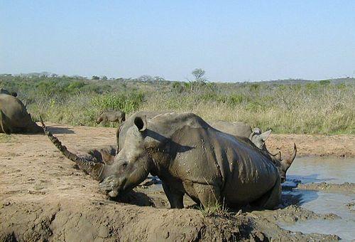 White rhinoceros Hluhluwe-Umfolozi