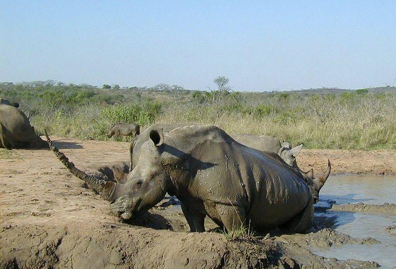 File:White rhinoceros Hluhluwe-Umfolozi.jpg