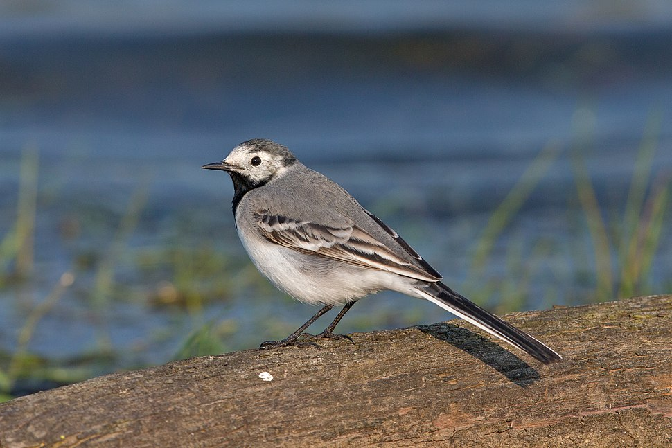 White wagtail female first summer