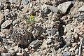 Whitestem blazingstar (Mentzelia albicaulis) 2017.05.13 10.42.24 IMG 9343 - Flickr - andrey zharkikh.jpg