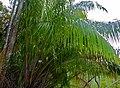 Wild Hill Sago (Eugeissona utilis) (15822455042).jpg