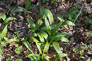 Allium tricoccum - Allium tricoccum growing in its natural woodland environment.