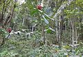 Wild crêpe ginger (Cheilocostus speciosus) - Bukidnon, Philippines 02.jpg