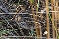 Wilson's Snipe (gallinago delicata) (8494135218).jpg