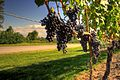 Wine grapes nearing harvest in Ontario-also example of trellis wire.jpg