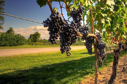 Wine grapes nearing harvest in Ontario-also example of trellis wire