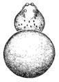 Wirada.tovarensis.male.dorsal.png