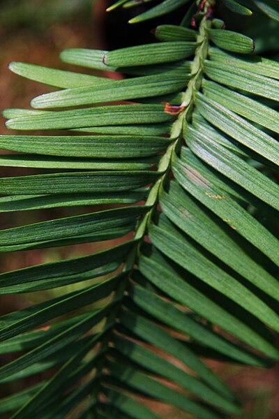 File:Wollemi Pine 1.jpg