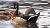 File:Wood duck in Central Park (22303)a.webm
