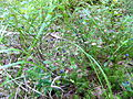 Woodlot NW of Kornilovo - whortleberries - DSCF5597.JPG
