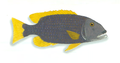 XRF-Lethrinus erythracanthus.png