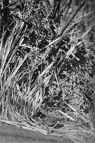 Bushwren - Photo of a live X. l. longipes taken in 1911