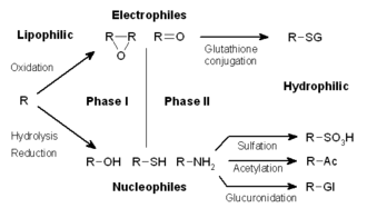 Drug metabolism - Phases I and II of the metabolism of a lipophilic xenobiotic.