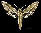 Xylophanes indistincta MHNT CUT 2010 0 349 Itatiaia National Park Brasil, male dorsal.jpg