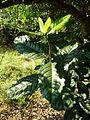 Xymalos monospora, beligte blare, Louwsburg.jpg