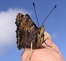 Yellow Admiral Butterfly on thumbnail-1.jpg