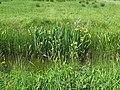 Yellow Iris beside the Wey South Path - geograph.org.uk - 1333764.jpg