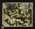 Yellow glacier lillies (Erythronium grandiflorum). 12.jpg