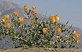 Yellow horned poppies - Glaucium sp 10.jpg