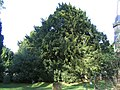 Yew tree at St Garmon's Church - geograph.org.uk - 269420.jpg