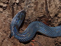 Young sunbeam snake from Thailand.JPG