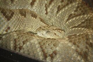 <i>Crotalus simus</i> species of reptile