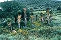 Yucca decipiens fh 0364 MEX B.jpg