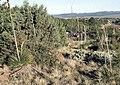 Yucca elata subsp. verdiensis fh 1179.33 AZ BC.jpg
