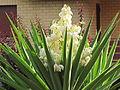 Yucca in fiore.JPG