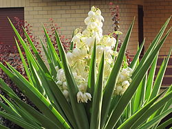 Yucca wikipedia la enciclopedia libre for Significado de ornamental wikipedia