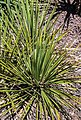 Yucca reverchonii in Christchurch Botanic Gardens 01.jpg