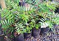 Z seedling Bois poupart - Poupartia pubescens in cultivation - Ferney Mauritius.jpg