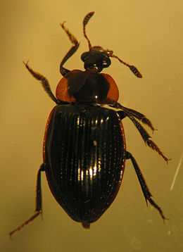 Zeanecrophilus sp.