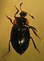 Zeanecrophilus sp..jpg