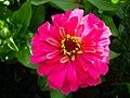 Zinnia Flowers گل آهاری 04.jpg