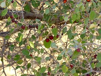 Ziziphus nummularia - Z.nummularia seen near Thar desert national park in Jaisalmer, Rajasthan