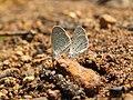 Zizula hylax Fabricius, 1775 – Tiny Grass Blue at Aralam Wildlife Sanctuary Jan 2016 (9).jpg