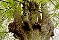 Zottegem Leeuwergem Gentse Steenweg Zevensacramentenboom (2) - 188596 - onroerenderfgoed.jpg