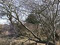 Zuid-Kennemerland trees 20110327 11.JPG