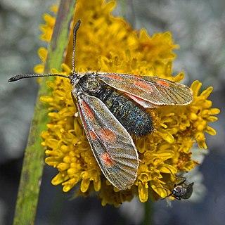 <i>Zygaena exulans</i> Species of moth