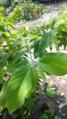 """+arya+"" daun Annona squamosa - kukusan barat 2019 01.webp"