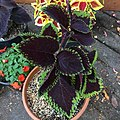 'Giant Exhibition Magma' coleus IMG 0895.jpg