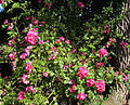 'Greetings' Rosa floribunda at Shipley, West Sussex, England 01.JPG