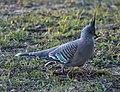 (1)Crested pigeon Kensington Park.jpg
