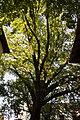 (2) Дуб крупноплідний на вул. 28 Червня, 71, м. Чернівці. Знято на заході сонця.jpg